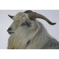 avatar for Tilton Hill Goat Farm - NEW in 2019